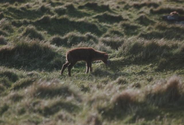 Soay Lamb.jpg