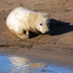 Seal pup at Tentsmuir