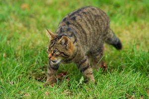 Urgent Action Planned To Save The Wildcat Walkhighlands