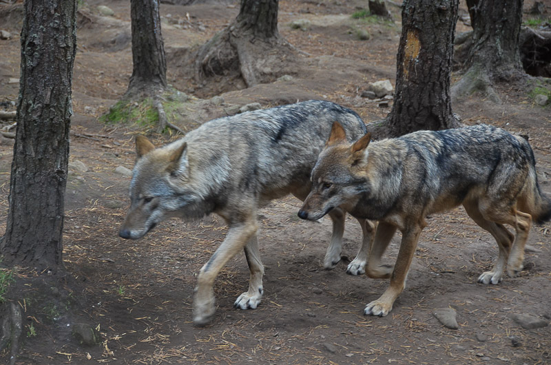 Grey wolves: is it a reintroduction if they are fenced in?