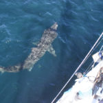 medium_Basking_shark_under_Silurian_Copyright_HWDT