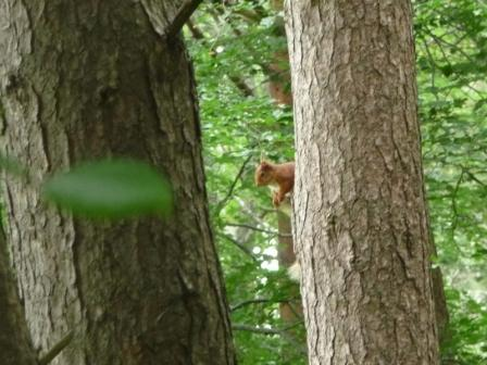 053 red squirrel Glen Tilt 22nd June 2014 c.jpg