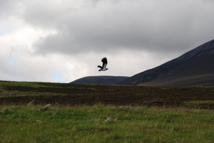 Lapwing in flight, 19Jun15, Beinn a'Ghol.JPG