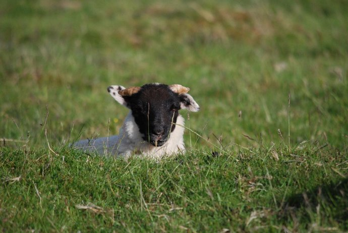 Sheep, 19Jun15, Beinn a'Ghol.JPG