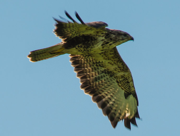 Devon-Buzzard-web.jpg
