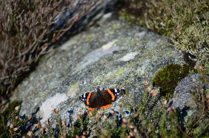 9 - Red Admiral Sunbathing at the Summit.jpg