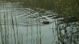 Released beaver with radio tag visible