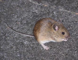 St Kilda mouse