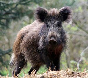 Wild Boar (photo by vlod007)