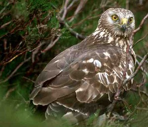 Hen Harrier (Photo: SNH)