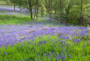 Bluebells at Glen Finglas (Photo: Woodland Trust)
