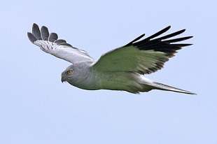 Hen Harrier (Photo: Gov.im)