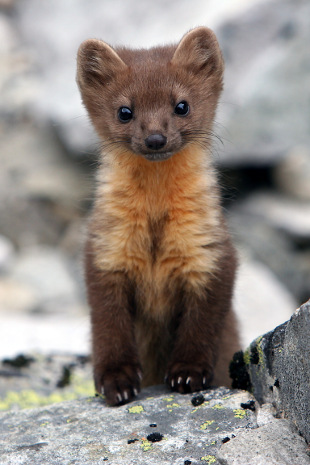 Pine Marten Showing Signs Of Recovery Walkhighlands