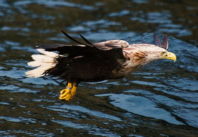 Sea eagle off coast of Skye