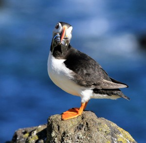 FEATURE: In search of the perfect puffin