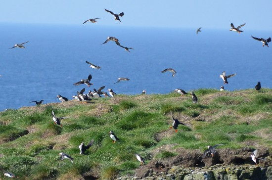 Puffins on Canna