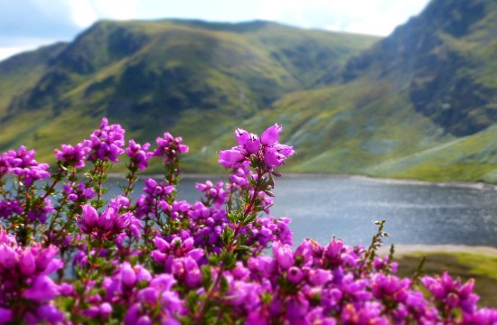 Bell Heather at Loch Turret in Perthshire