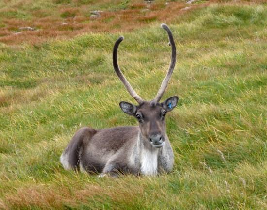 Free-roaming Cairngorm reindeer