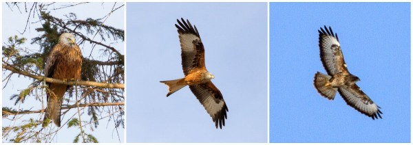 Left & Centre, red kite roosting and in flight. Right, buzzard in flight. Note the differences in tail & wing shape.