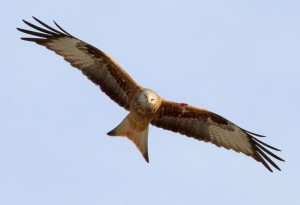 FEATURE: Red Kites in Scotland