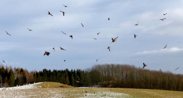 Upwards of 30 red kites feeding at Argaty. An incredible sight.