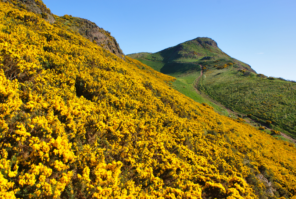 Gorse the yellowest of flowers walkhighlands arthurs seat in its gaudy spring garb mightylinksfo