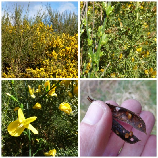 Broom and gorse ID.  Clockwise from top left: whip-like broom stems growing amongst flowering gorse; smooth broom stems on the left and prickly gorse stems on the right; broom seed pod after it has burst open; larger broom flower in the foreground and similar but smaller gorse flowers in the background.