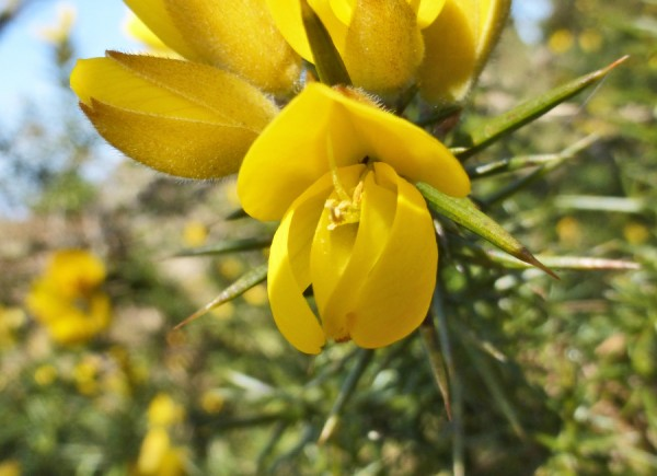 Gorse flower ringed by those unforgiving spikes. Ouch!