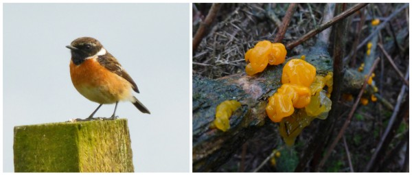 A couple of gorse residents. Stonechat, and the lovely yellow brain fungus.