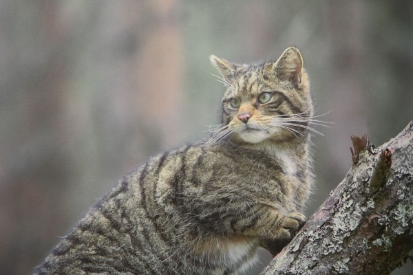 Wildcat | © CNPA / Pete Cairns