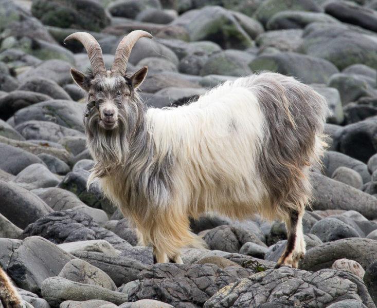 Mull goat