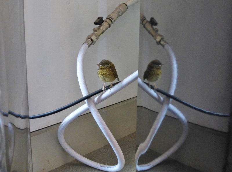 A lost robin chick that found its way into our visitor centre and behind the drinks machine.