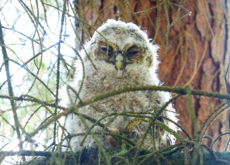 Our tiny tawny owlet. So very fluffy!