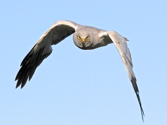 Male hen harrier. Photo: Gordon Yates