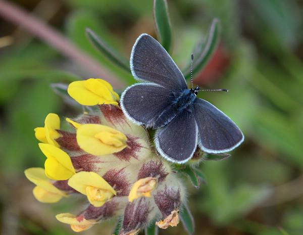 Small Blue (photo: Iain Cowe)