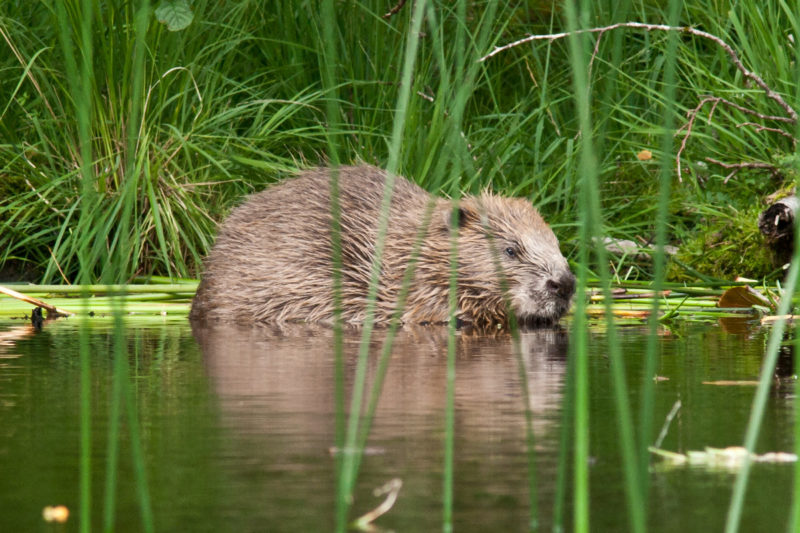 Adult beaver at Knapdale, Photo © Steve Gardner
