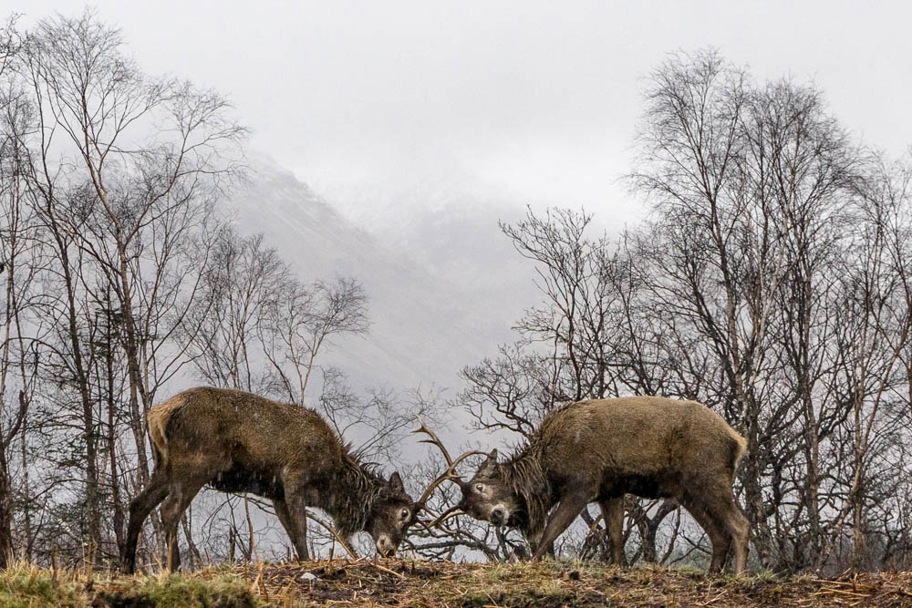 1 - Sparring stags in Glen Etive