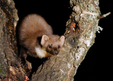 FEATURE: Meet the Pine Marten