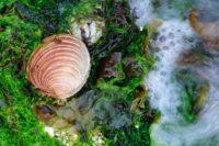 Clam shell, Dunvegan, Isle of Skye