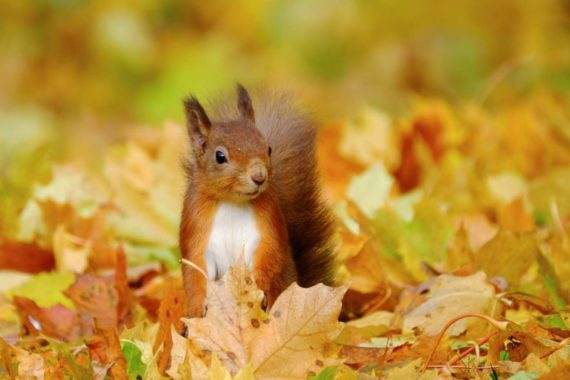 Our native red squirrel