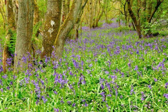Karen Thorburn Blog 011-5 Bluebell Woods, Blairgowrie