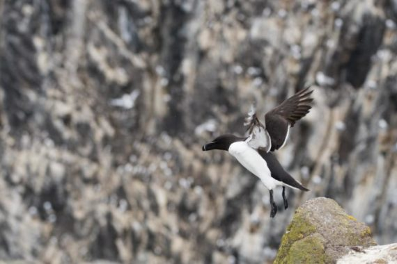 Karen Thorburn Blog 012-4 Razorbill, Isle of May