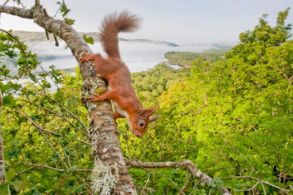 Red squirrel copyright scotlandbigpicture.com (medium)